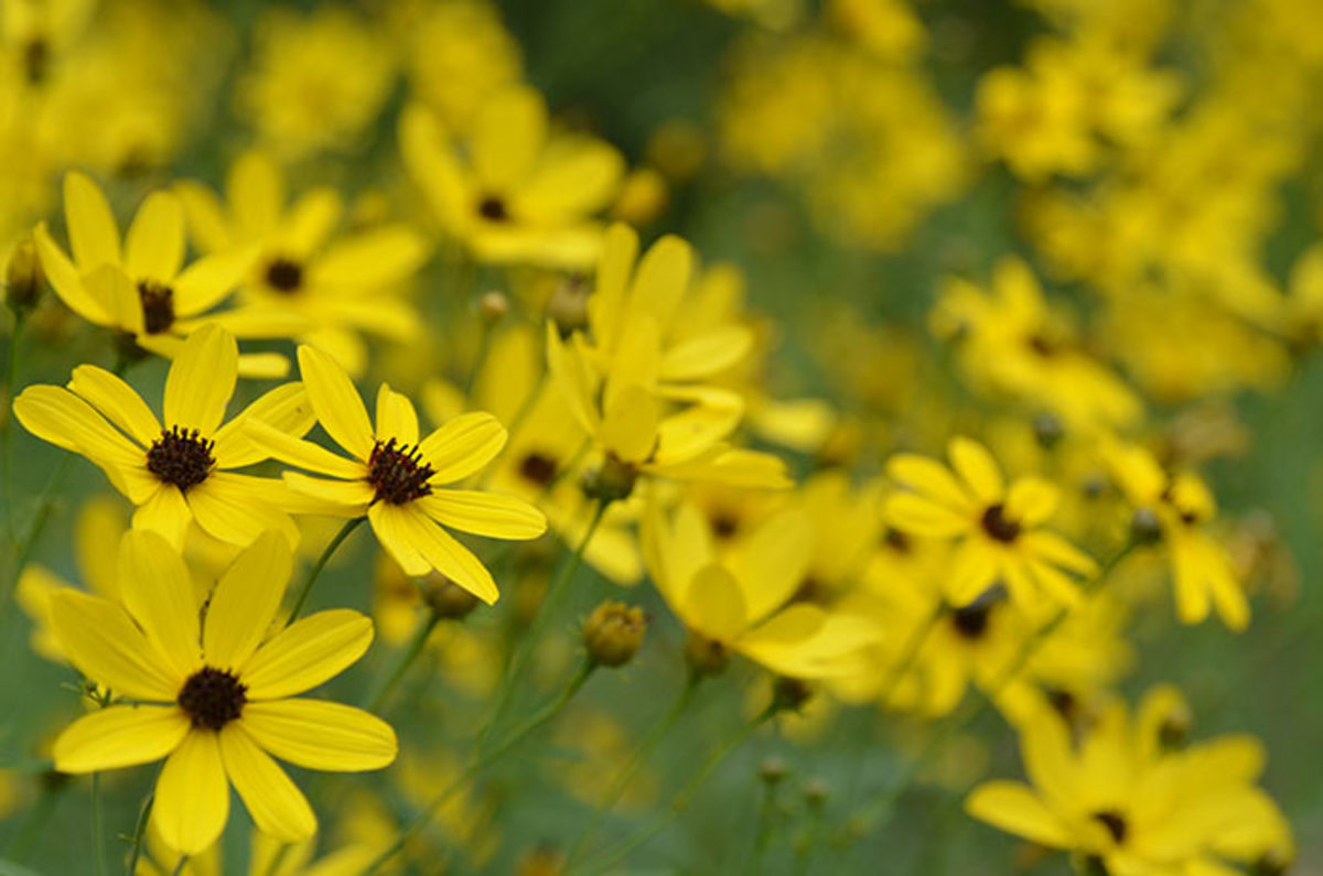 'Gold Standard' tall tickseed blooms at a sturdy five- to six-foot height. Photo courtesy of Mt. Cuba Center.