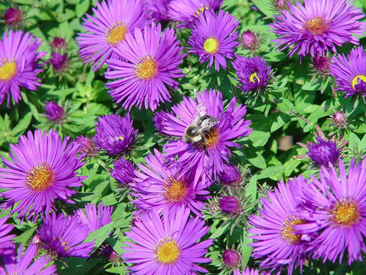 Tried-and-true 'Purple Dome' aster grows just two feet tall. Photo courtesy of Mt. Cuba Center.