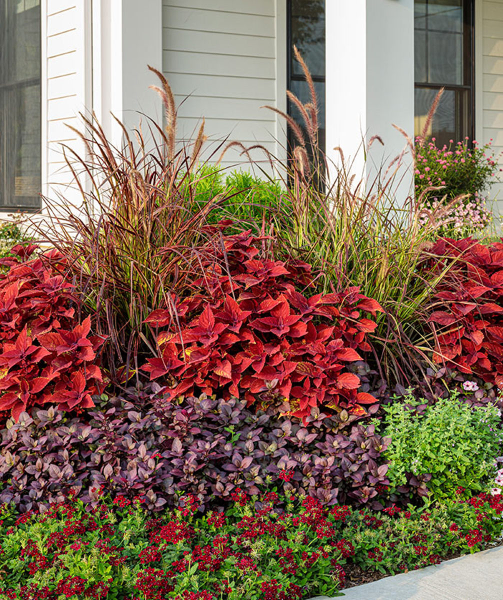Purple fountain grass can be five feet tall or higher.