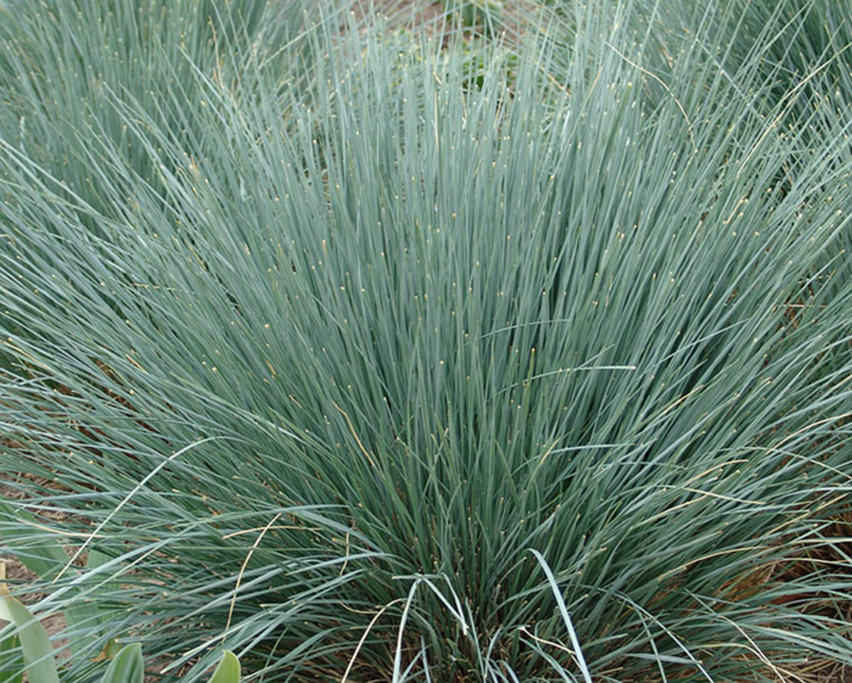 Blue oat grass makes a tidy two-foot dome.