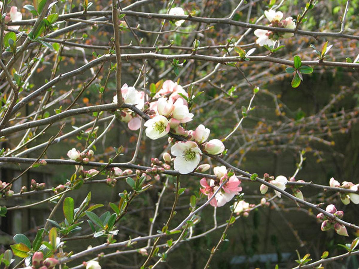 'Moerloosei' flowering quince