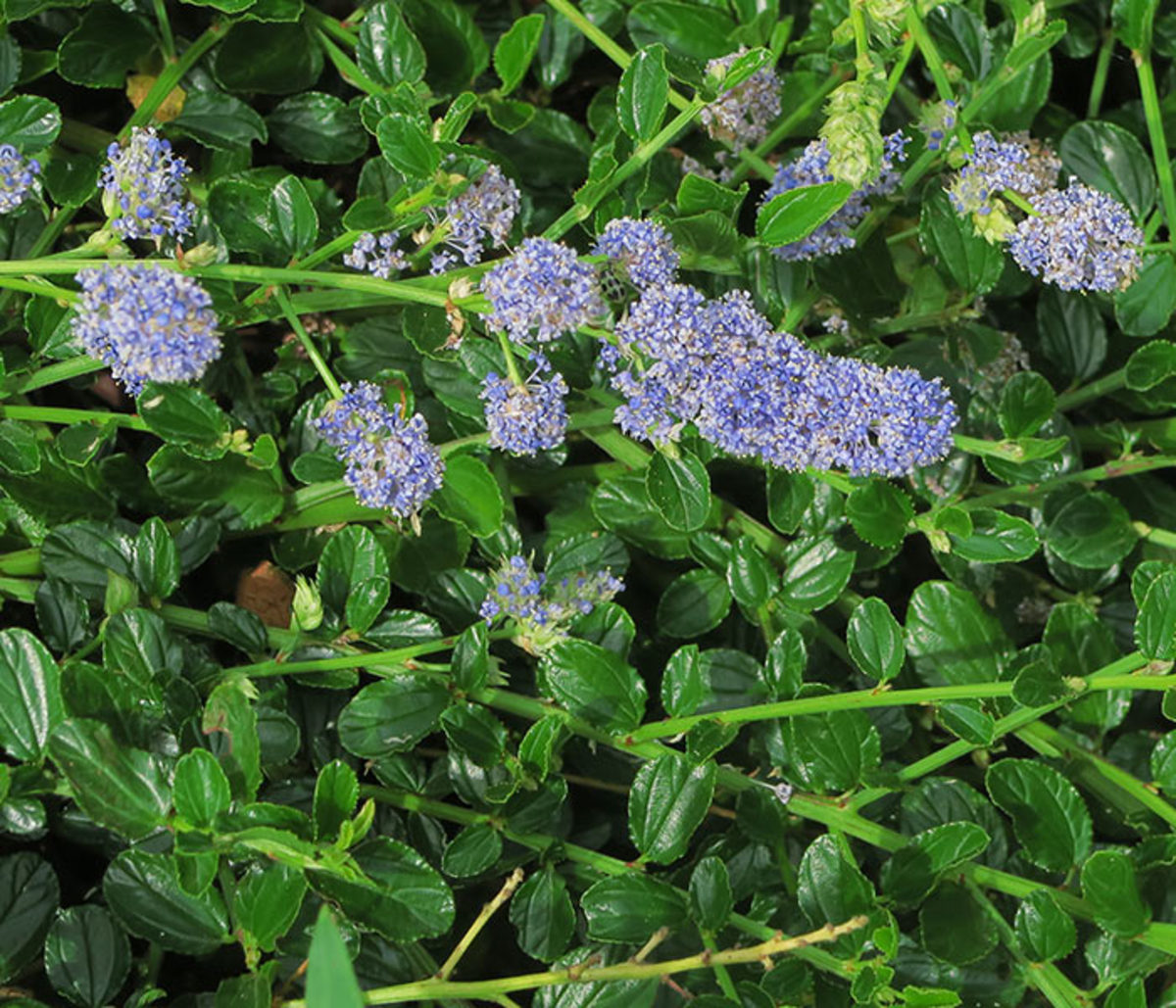 Creeping blueblossom is typically seen as a ground cover, but it can be easily pruned to grow upward and shrubby when sited at the base of a wall.