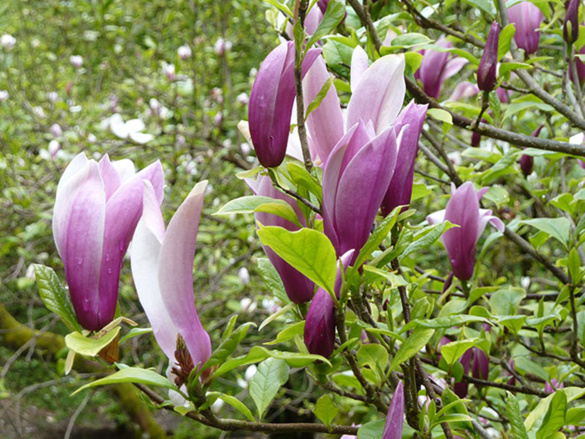 Black lily magnolia is a small tree that can be trimmed to remain close to a wall.