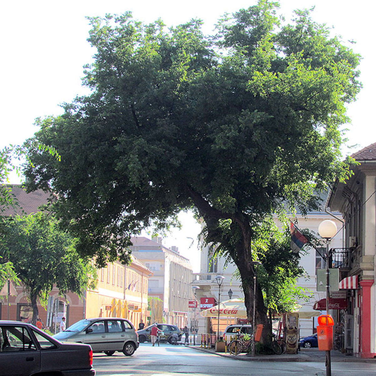 This hackberry growing in Sombor, Serbia, demonstrates the tree's tenacity in urban conditions.
