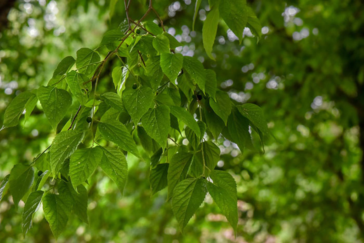 The foliage and ripening fruit of hackberry.