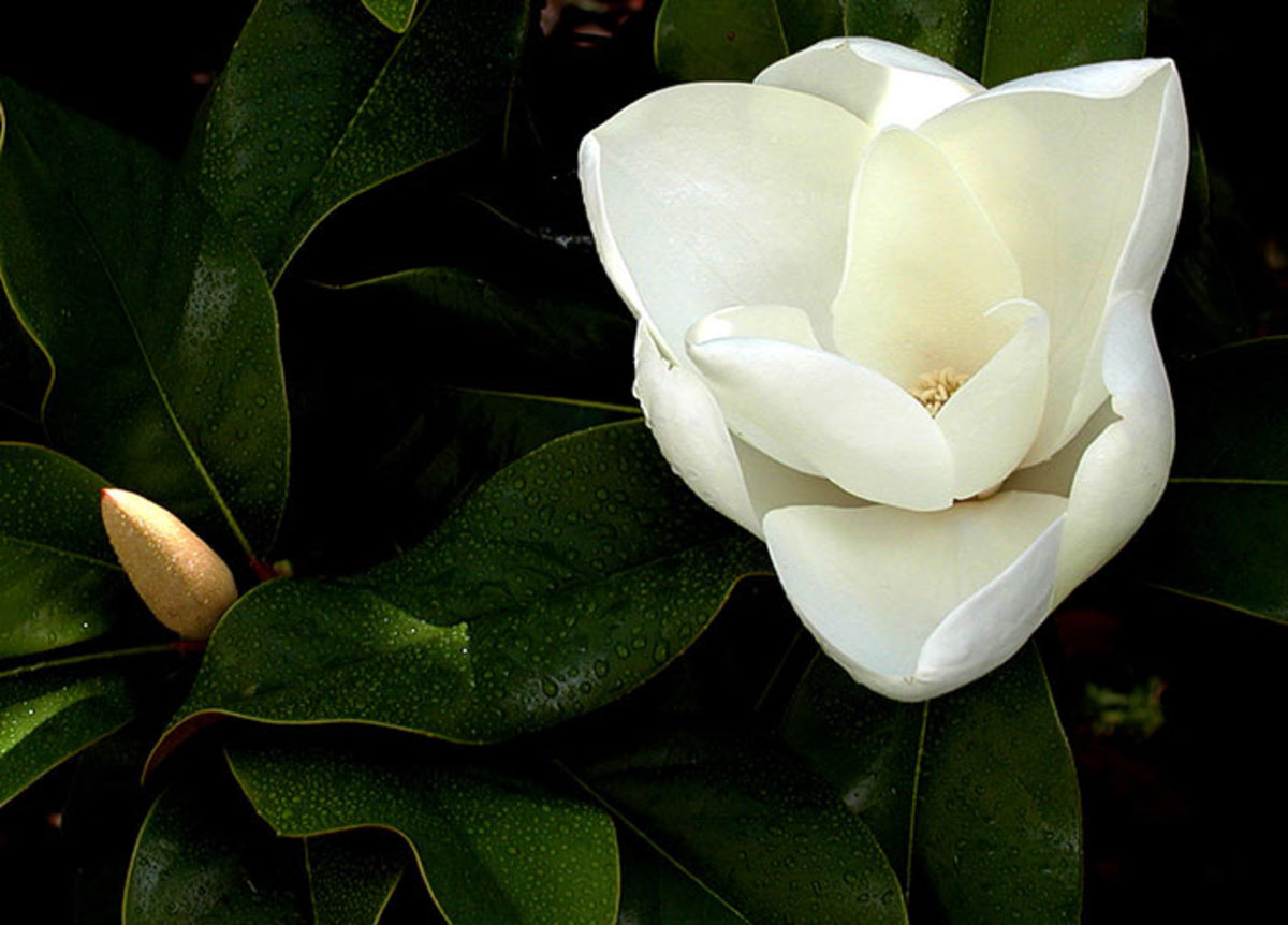 MagnoliaGrandiflora