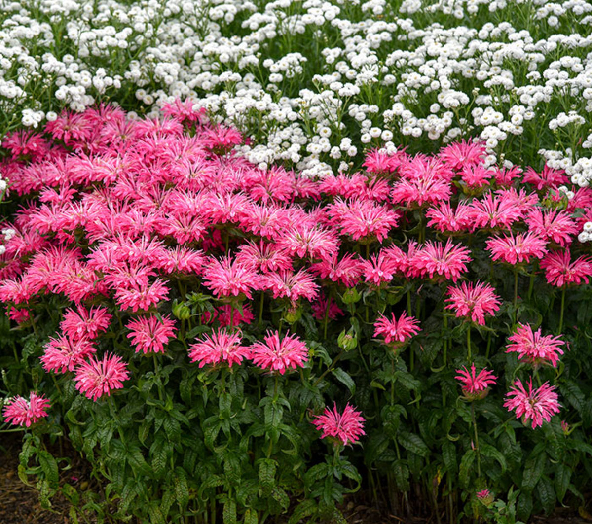 Breeding has pushed the color options of monarda past red and purple into all shades of pink, as evidenced by this cultivar, 'Electric Neon Pink'.