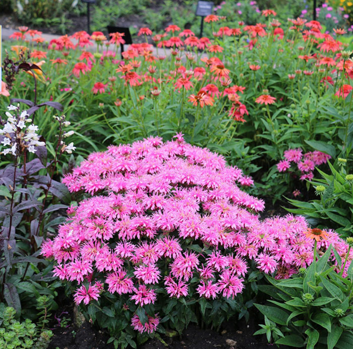 The Balmy series (shown here, Balmy Pink) contains plants that top out at just 12 inches.