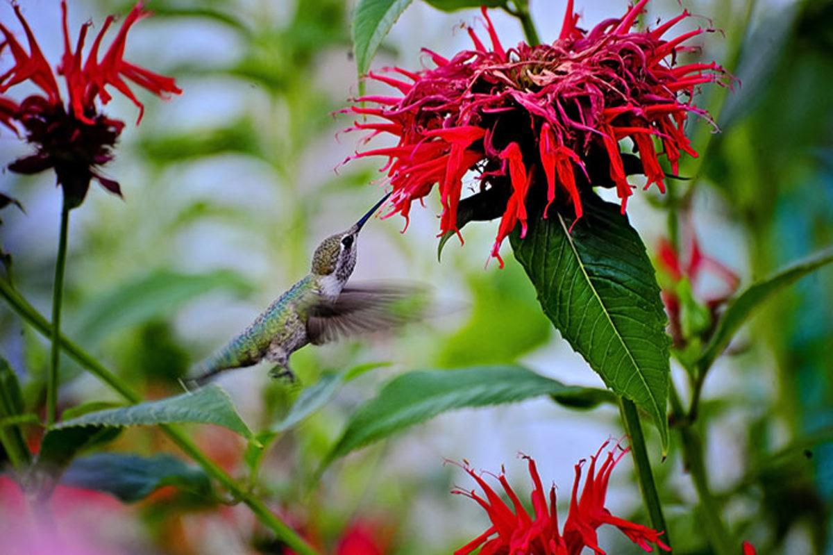 Monarda, or beebalm, is an essential for the hummingbird garden.
