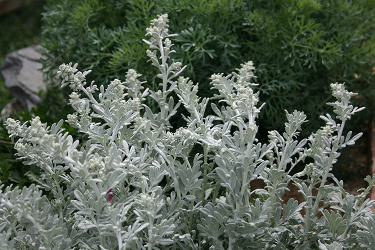 Beach wormwood, or Artemisia stelleriana, looks similar to the familiar dusty miller, but it's hardier and more drought tolerant.