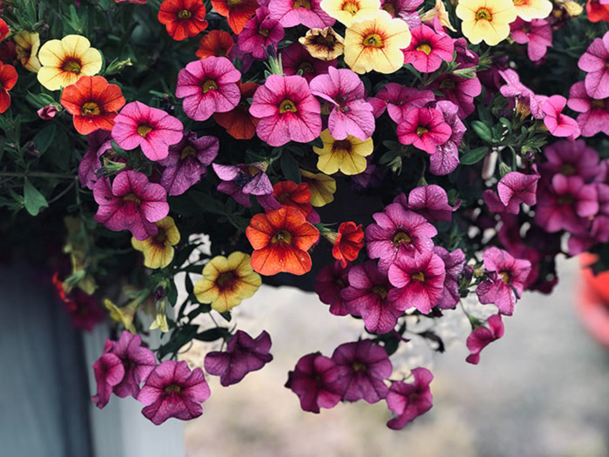 Do annuals like million bells (Calibrachoa) deserve space in our gardens amid the continued push toward naturalistic, perennial-based planting plans? The author thinks yes!