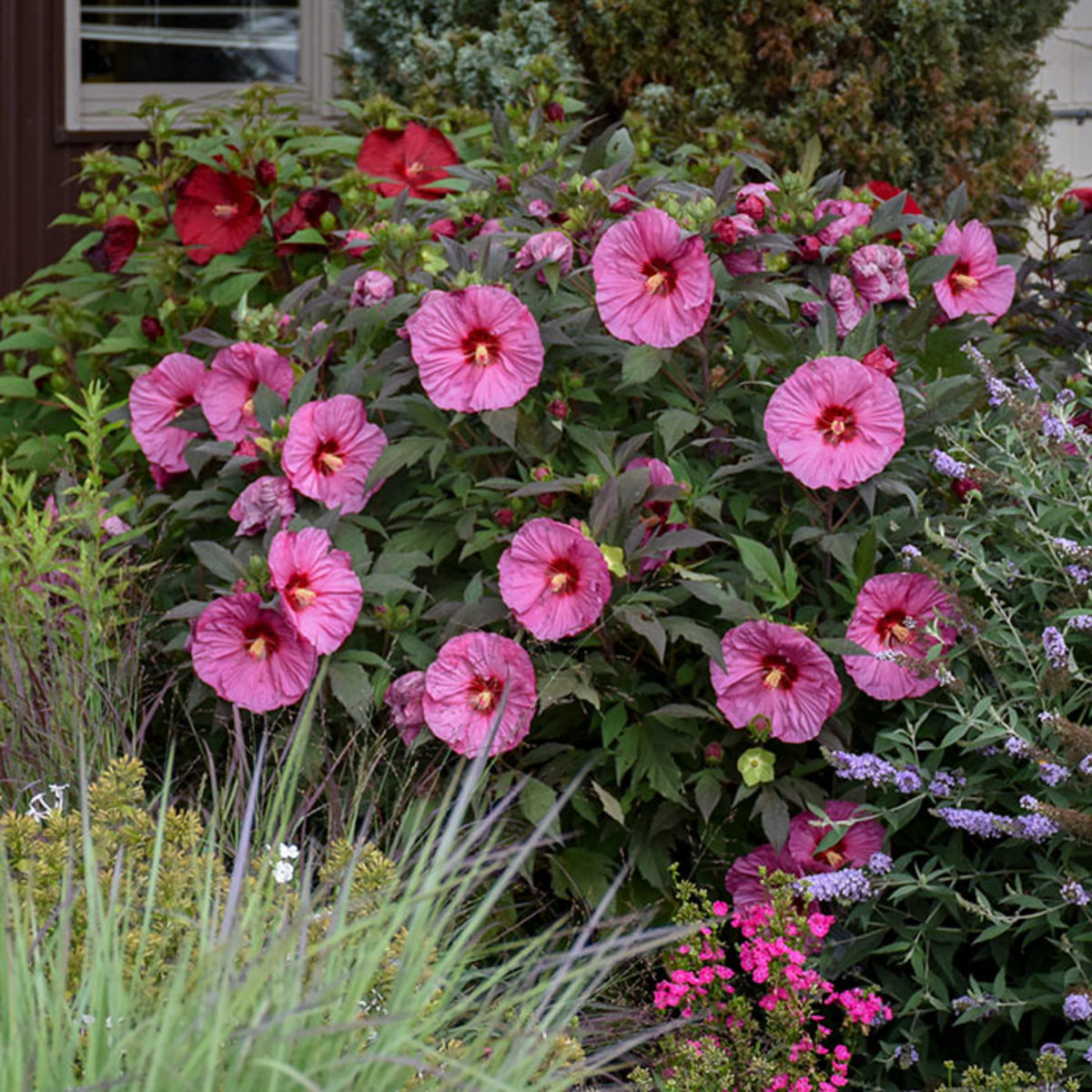 Berry Awesome is a newer hardy hibiscus that reaches just four feet tall and about as wide.
