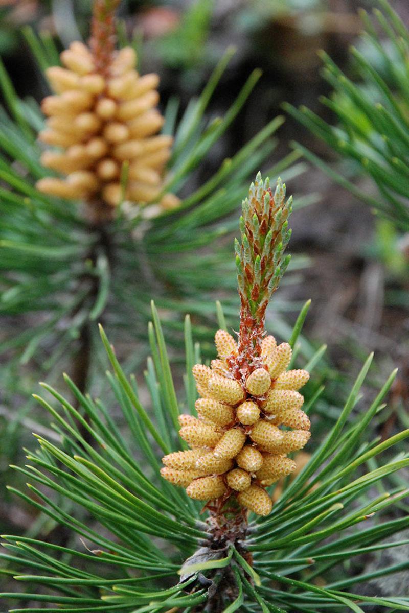 Lodgepole pine (Pinus contorta) in bloom.