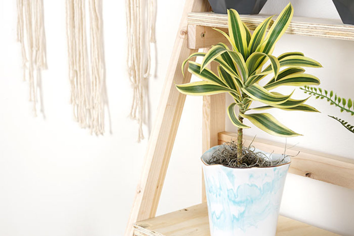 Over time most kinds of dracaena will develop a trunk leading up to their swirling foliage.