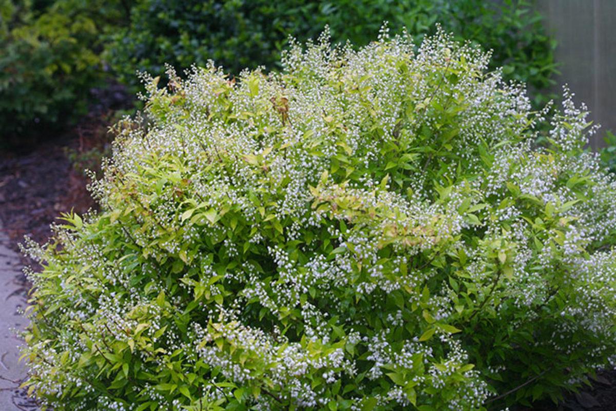 Chardonnay Pearls deutzia stays interesting post bloom thanks to bright foliage