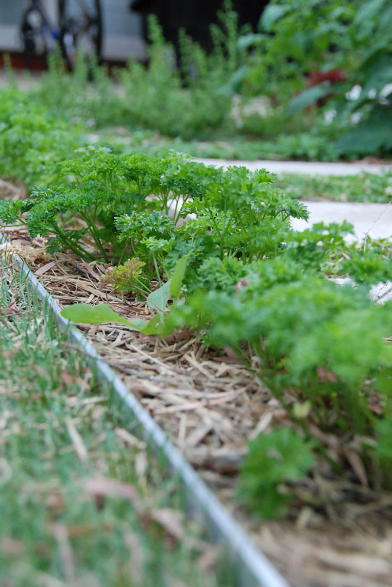A pretty herb like parsley offers an easy entry into front-yard food gardening; try it as edging!