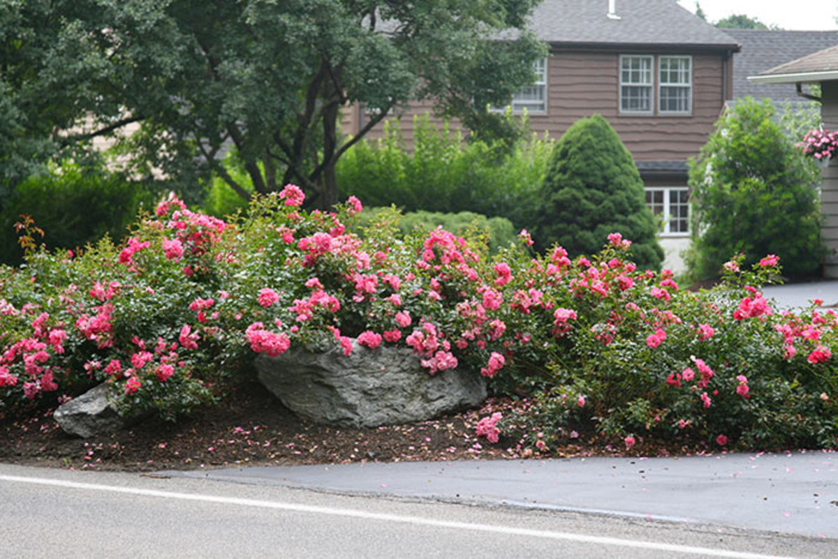Flower Carpet Pink Supreme proved to be a good grower in two regions covering the northeast quadrant of the US.