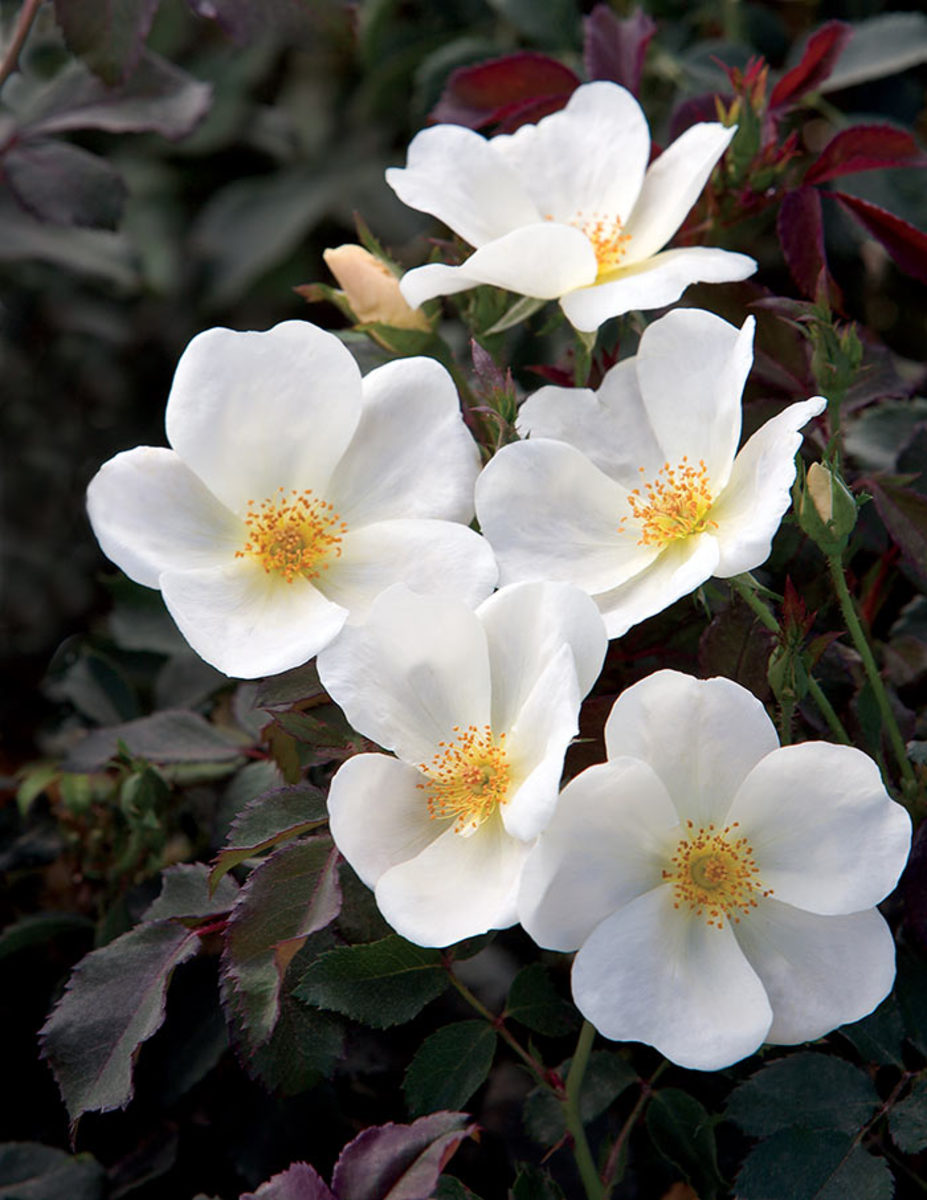 The White Knock Out rose is a winner in three of the ARTS trial regions, encompassing the Southeast and parts of the Great Plains, Rocky Mountains and West Coast.