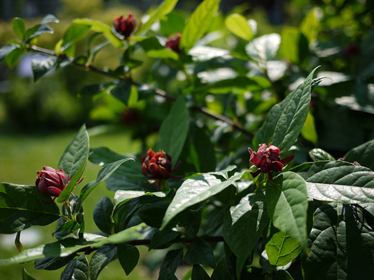 Calycanthus floridus, or sweetshrub, is a large woody plant of the southeastern United States.