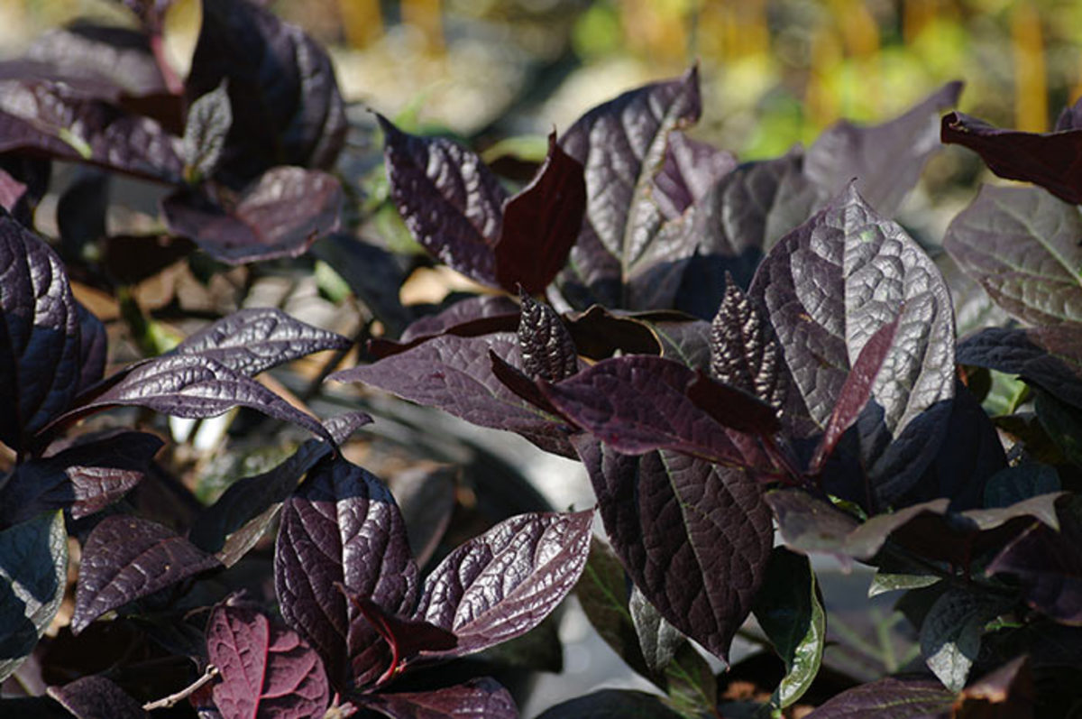 Through spring and summer, the foliage shines dark purple. In fall it shifts to shades of yellow.