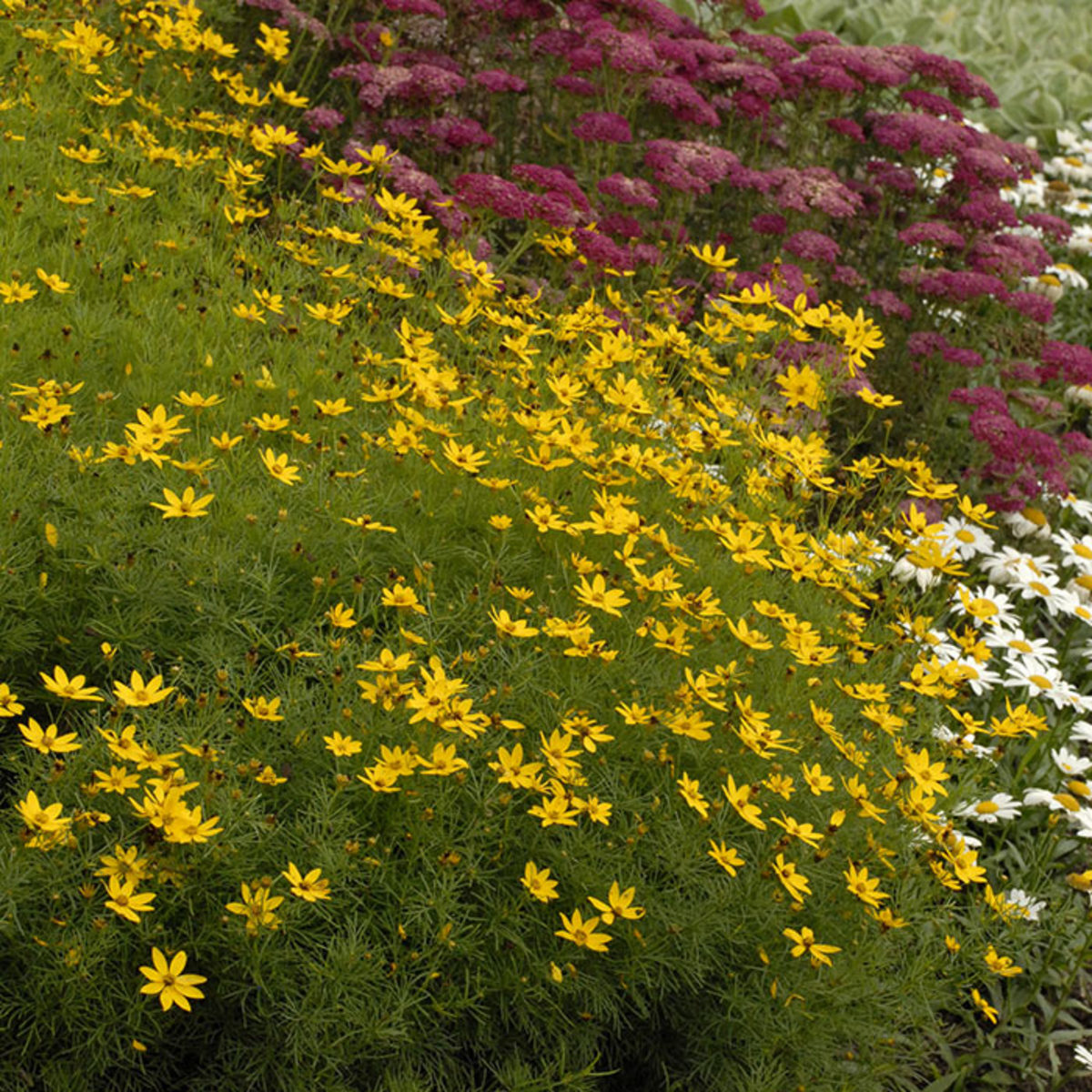 Coreopsis verticillata 'Zagreb' offers bright yellow flowers throughout the summer.