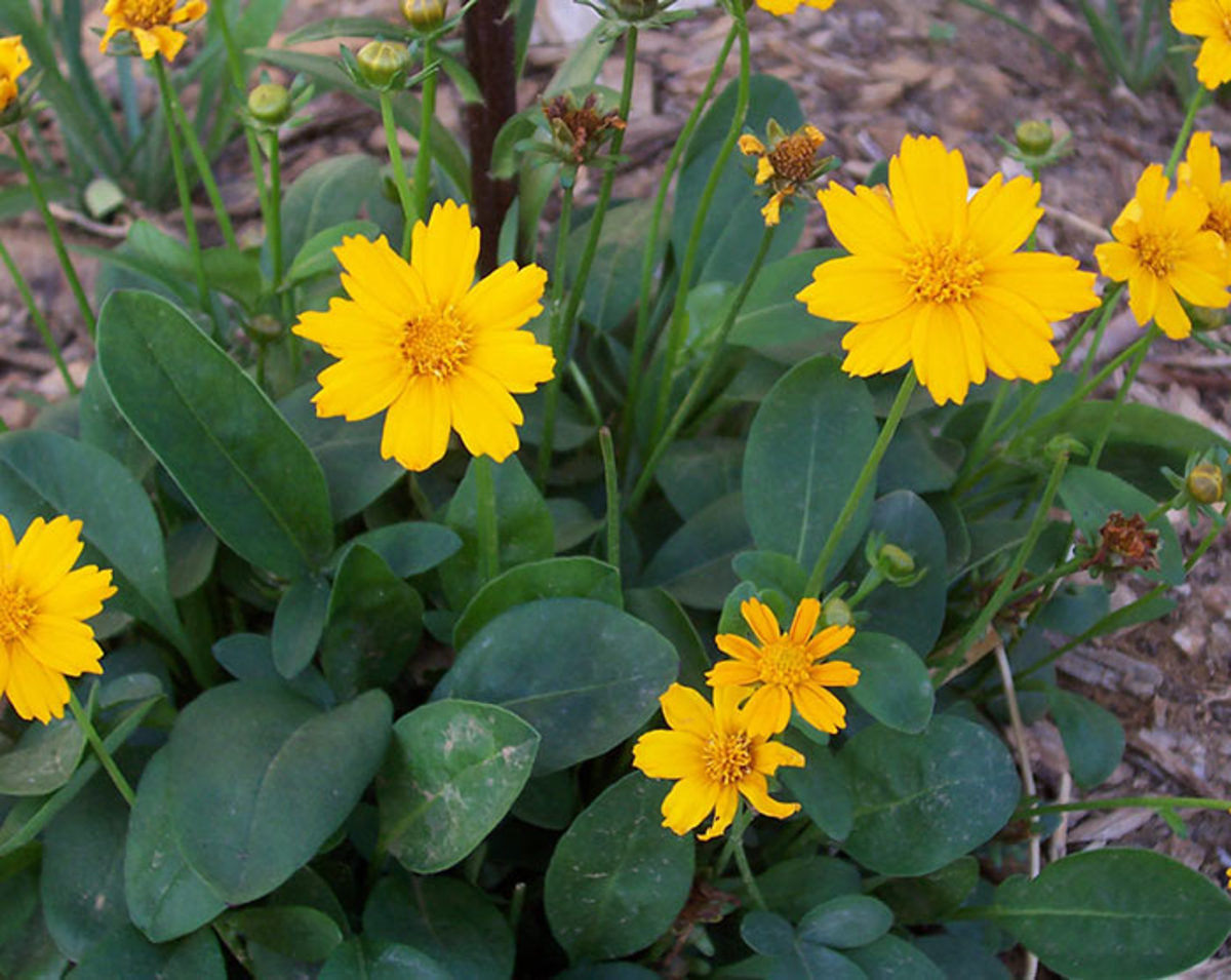 'Nana', a cultivar of Coreopsis auriculata, is a bit unique among tickseeds because it can flower under a shorter day length. Most others need at least 12 hours of daylight to bloom.
