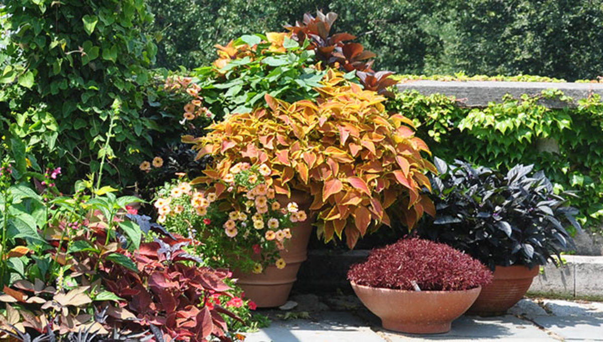 At the botanic garden Wave Hill, containers hold just one type of plant, as seen in this grouping at the Pergola.
