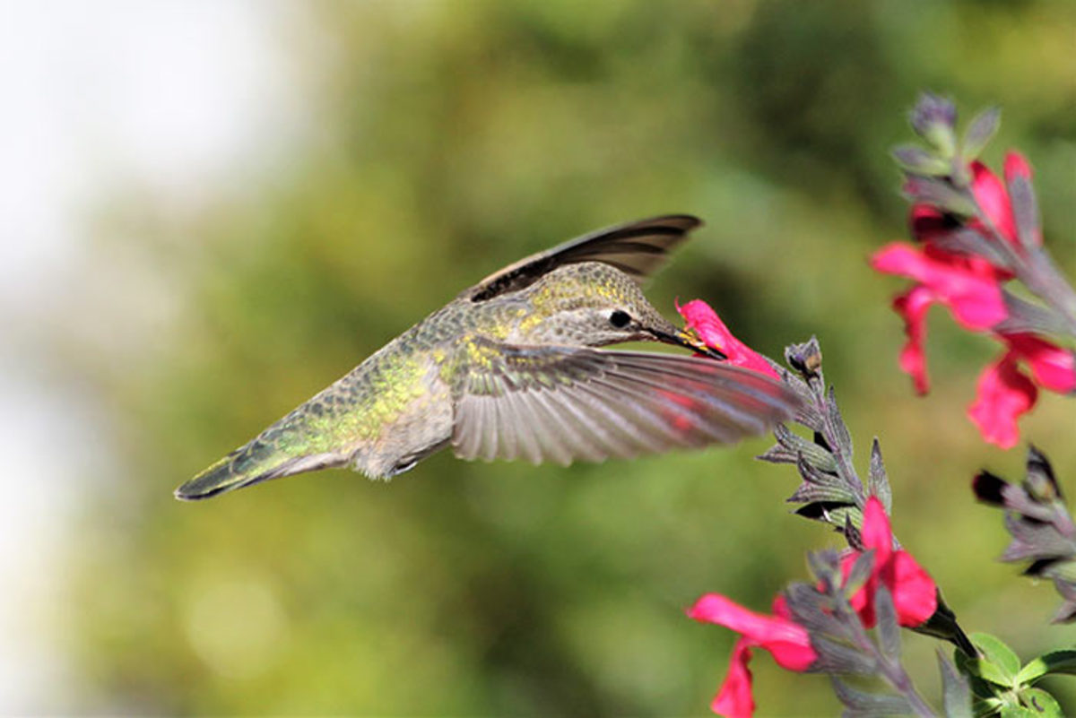A hummingbird visits autumn sage (Salvia greggii), its bill a perfect fit for the tubular flower.