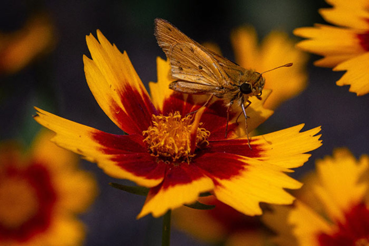 A fiery skipper moth alights on the coreopsis cultivar UpTick Gold & Bronze.