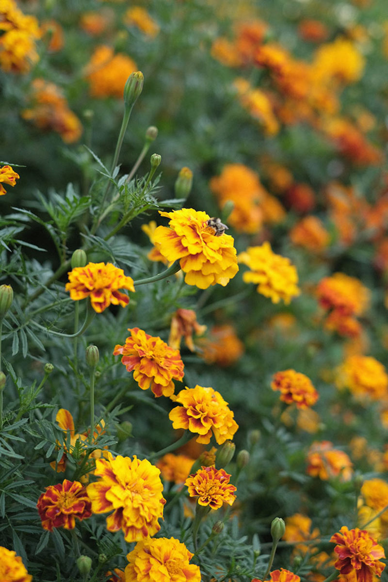Marigolds are a favorite summer-to-autumn annual. Don't be fooled by their tiny size in spring's six packs; give them space to fill out over the long haul.