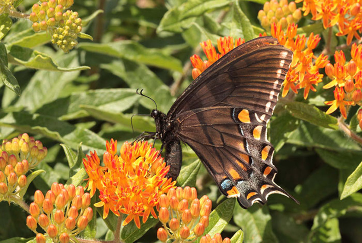 A black tiger swallowtail stands out on butterfly milkweed.