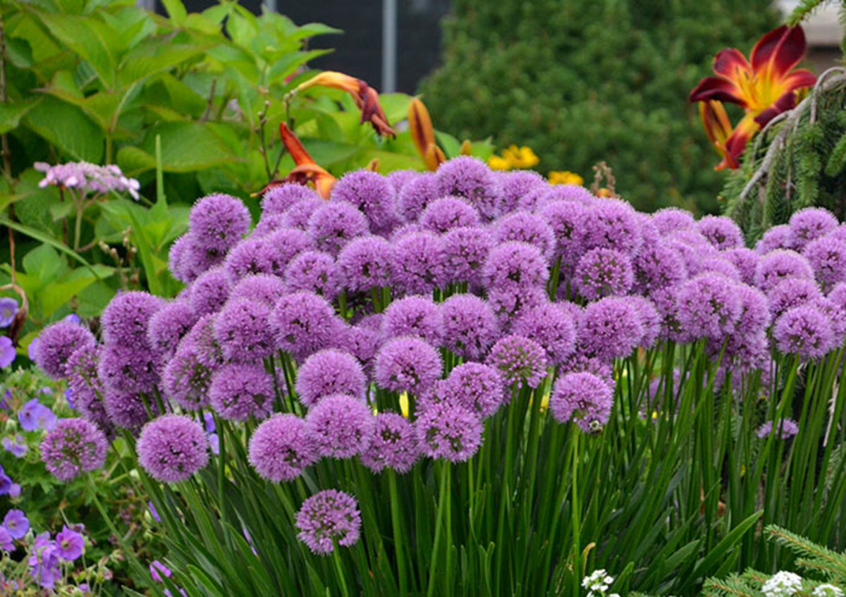 Bees love clumping alliums like 'Millenium', shown here.