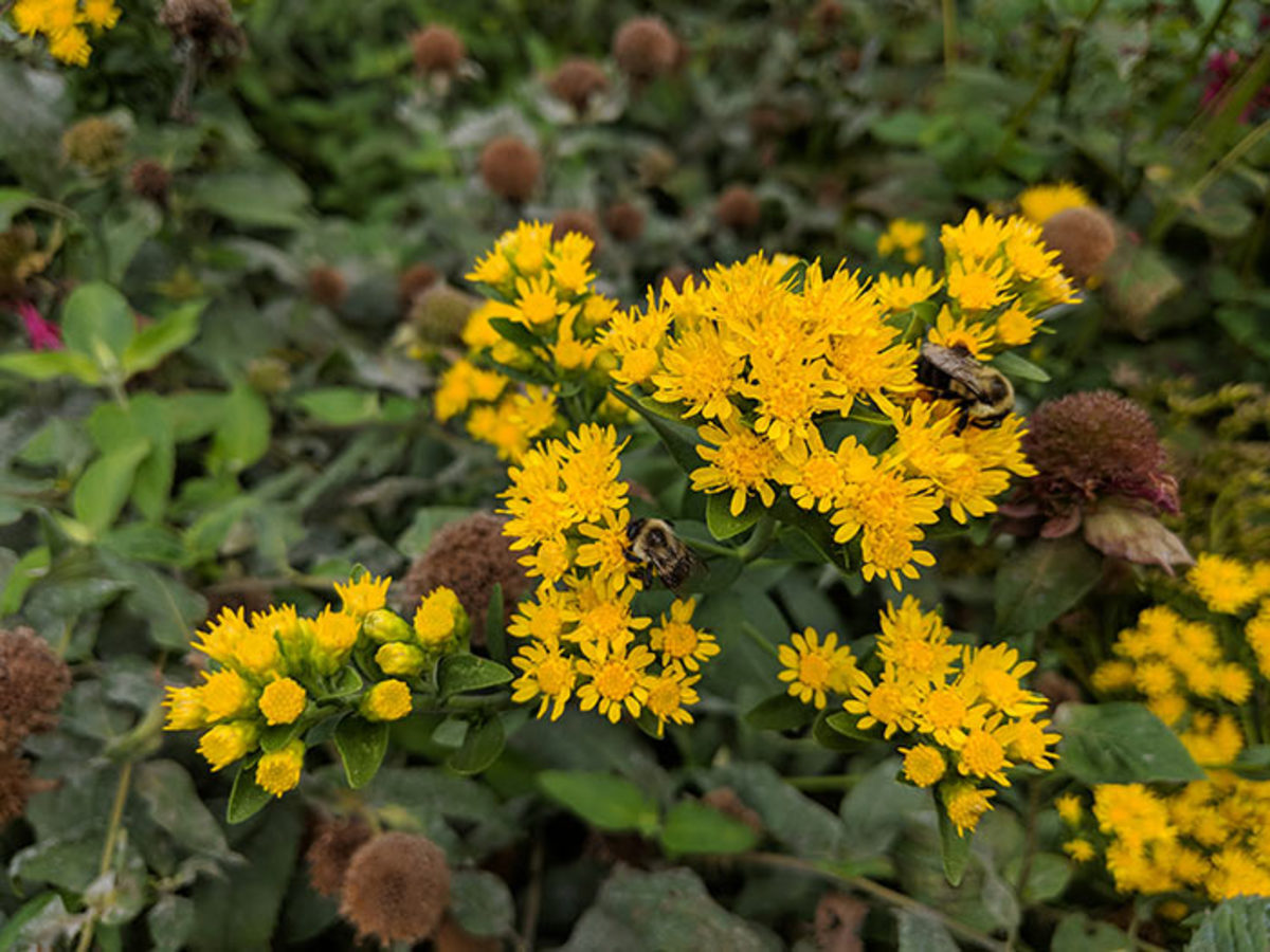 Two bees share a visit to showy goldenrod.