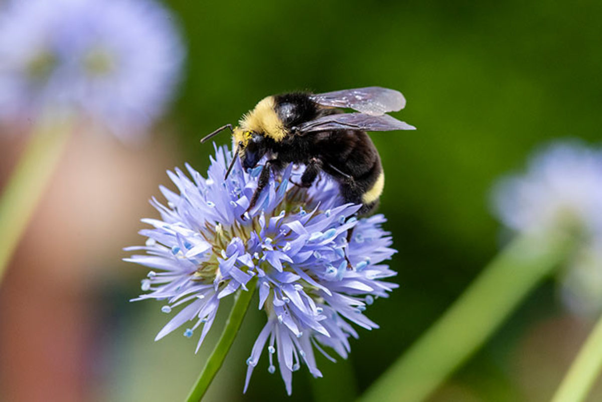A bumblebee visits Gilia capitata, a western United States spring-to-summer bloomer that often appears in packaged wildflower seed mixes.