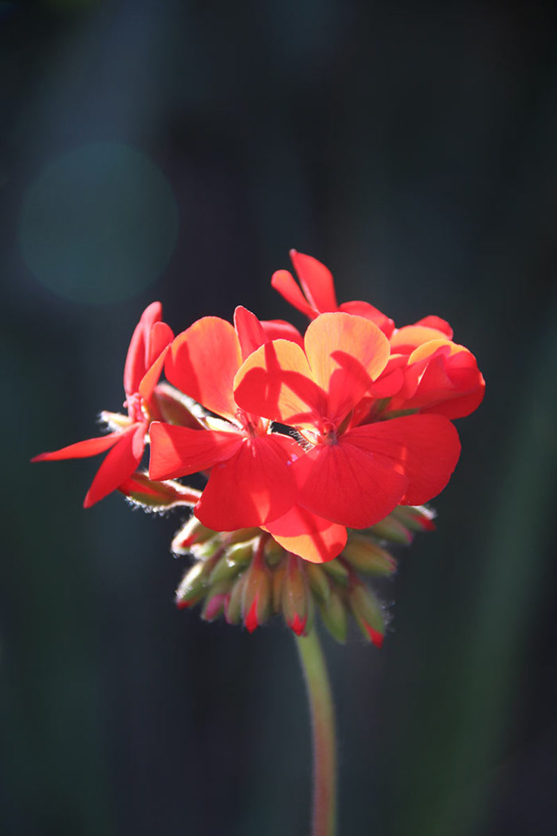Red geraniums (Pelargonium) remind the author of a thrifty relative.