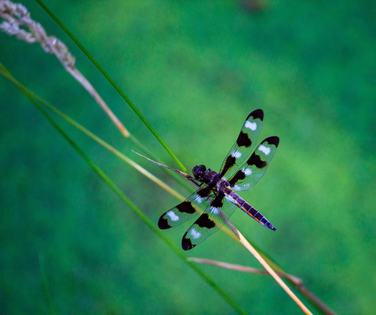 A 12-spotted skimmer alights on a skinny stem. Skimmers are one type of dragonfly.