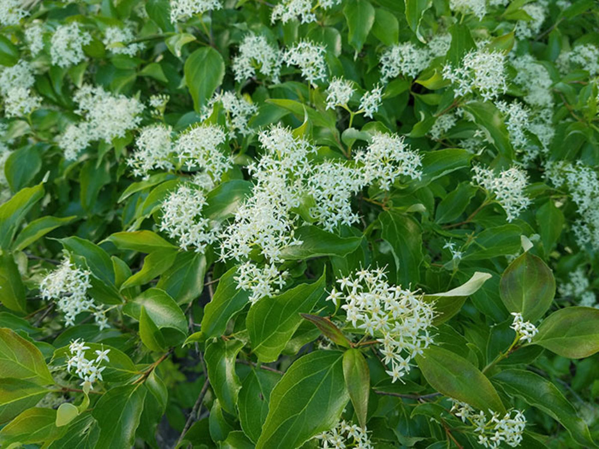 The late spring/early summer flowers of Cornus racemosa, or gray dogwood.