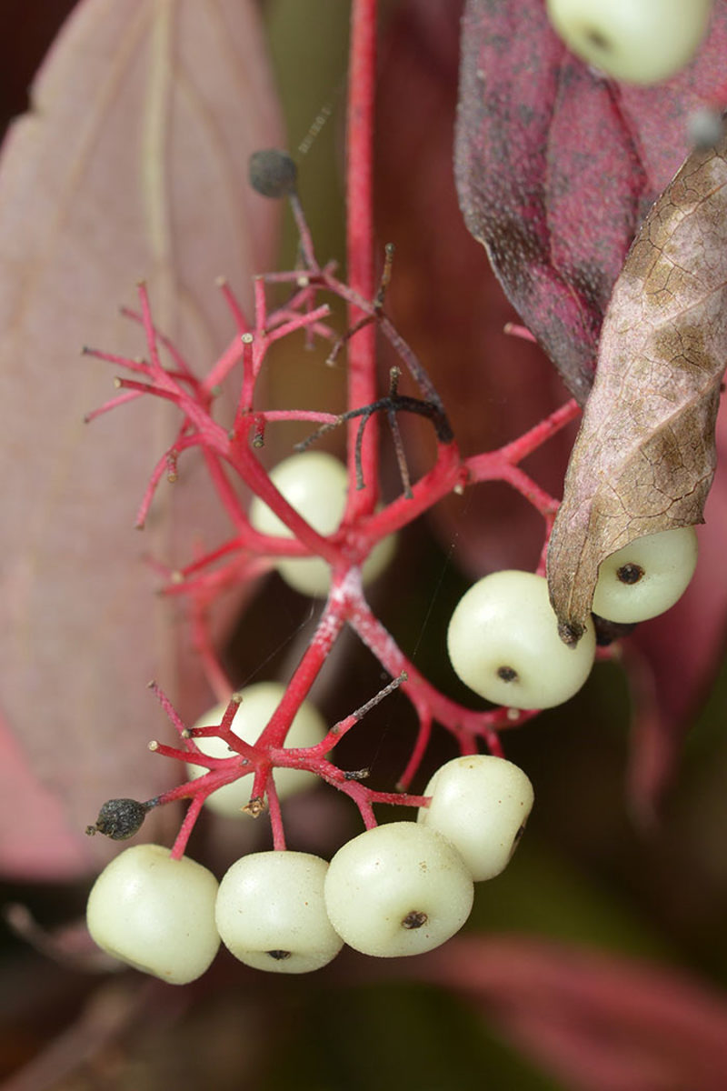 The white fruits offer sustenance to birds in fall and winter.