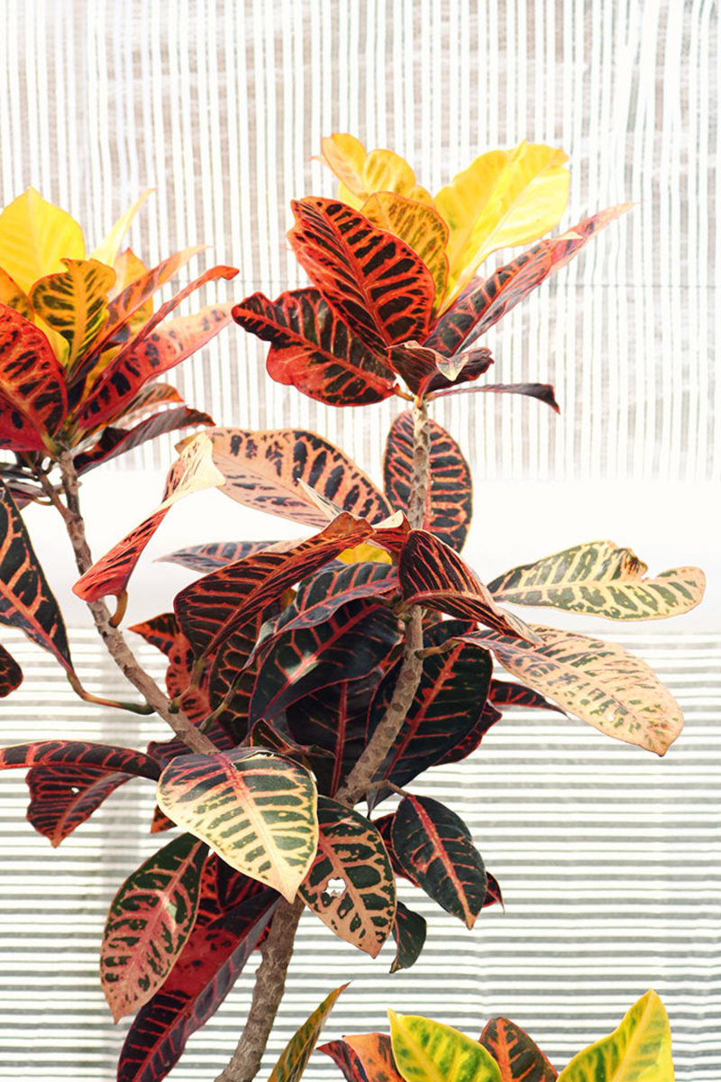 """Often grown as a houseplant, croton loves heat and humidity. It can add color to a """"blah"""" border in midsummer and then move indoors for winter."""