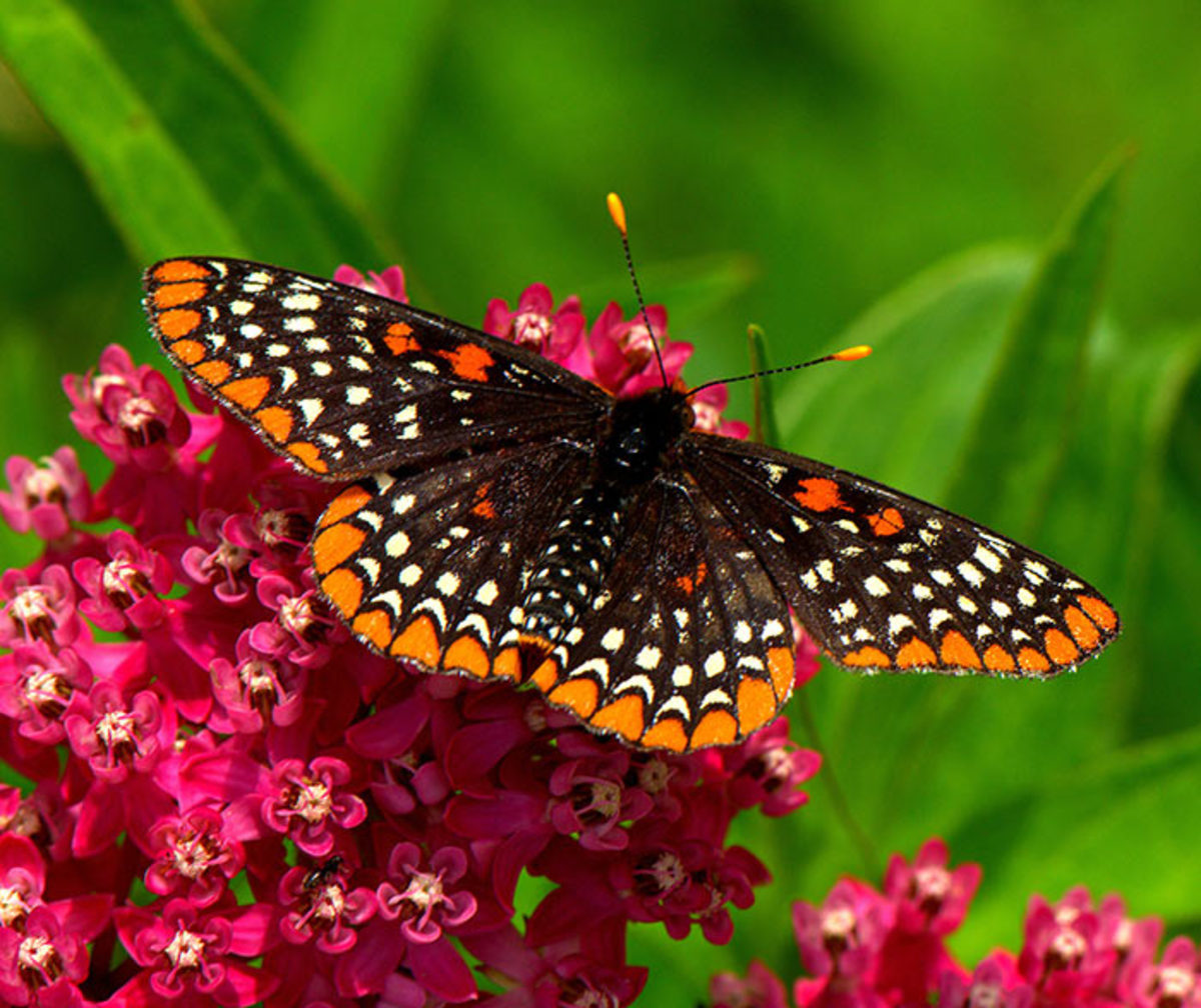 A Baltimore checkerspot butterfly visits rosy, or swamp, milkweed in Trempealeau County, Wisc.