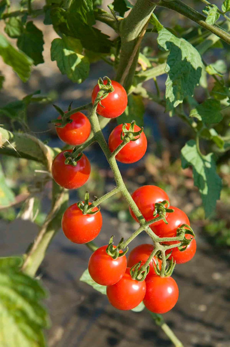 'Jasper' is a disease-resistant cherry tomato with delicious bright red fruits.