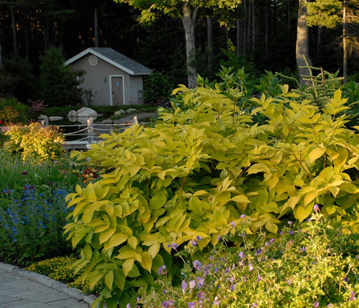 'Sun King' aralia (Aralia cordata 'Sun King') is a bulky perennial for shaded spaces, where its golden foliage brightens the scene.