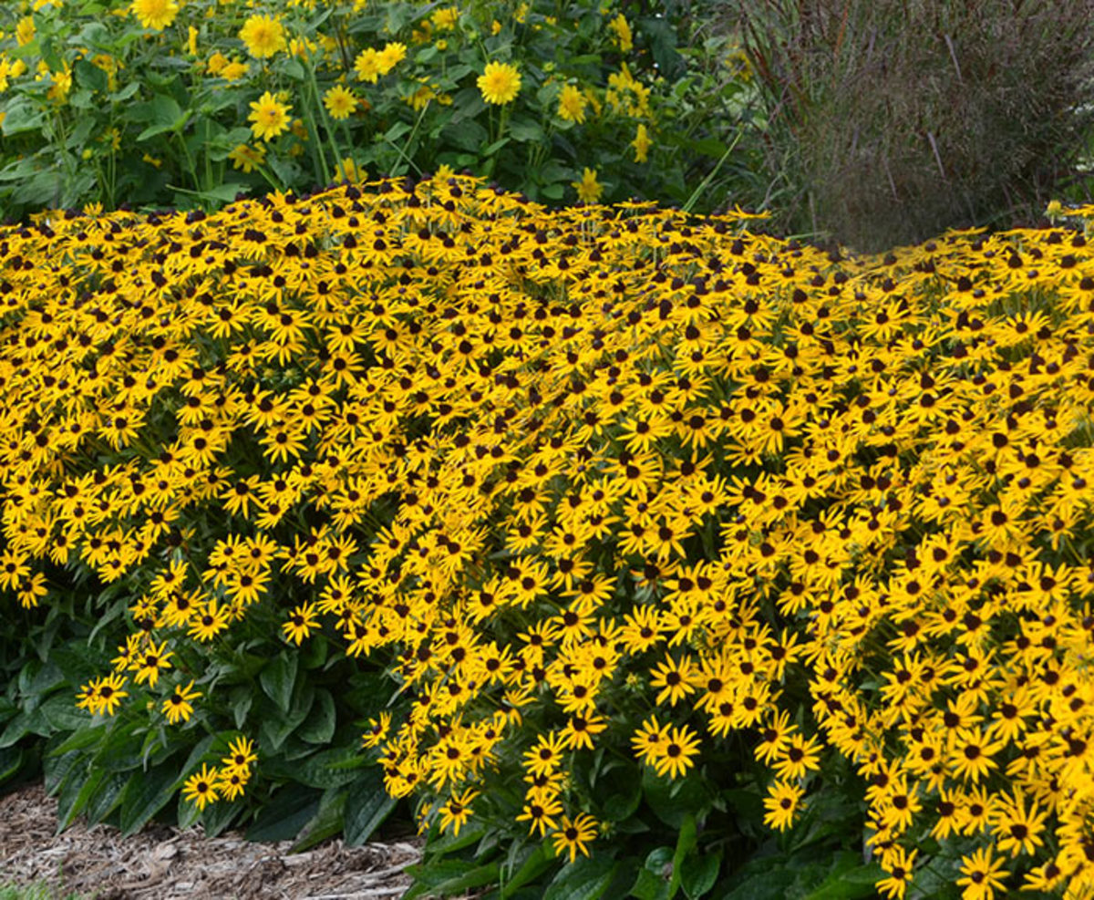 'Little Goldstar' black-eyed Susan (Rudbeckia fulgida var. sullivantii 'Little Goldstar' is a carefree perennial for full sun or part shade. Its bright gold flowers appear from midsummer to autumn.
