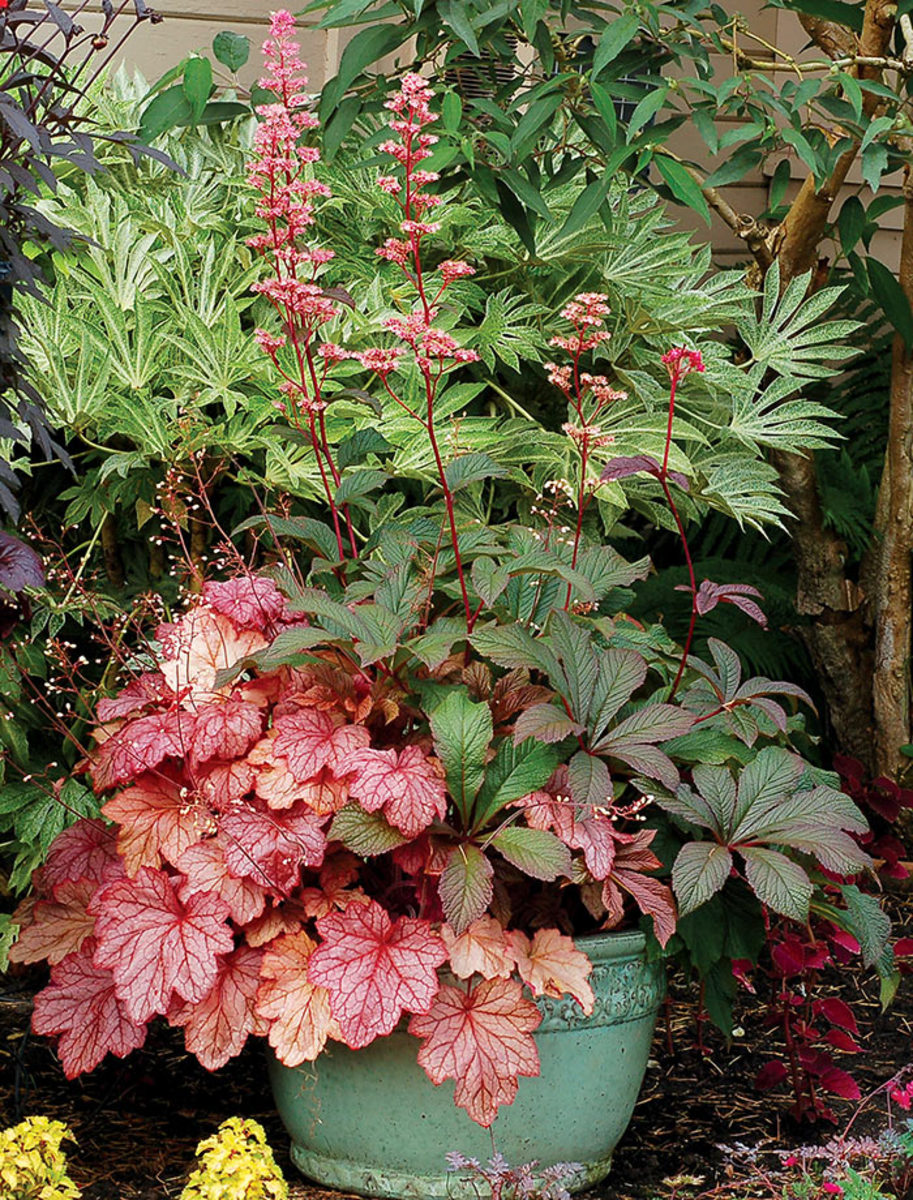 Rodgersia 'Bronze Peacock' (right) shares a pot with a salmon-pink heuchera. A shade lover, 'Bronze Peacock' is easy to combine thanks to its neutral color.