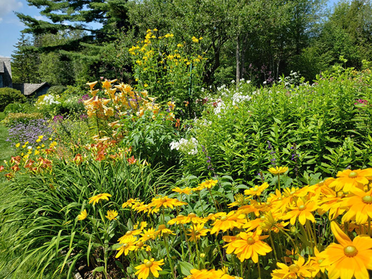 Rudbeckia hirta 'Irish Eyes', or green-eyed Susan, shares space with daylilies, bulb lilies and six-foot-tall cutleaf coneflower.