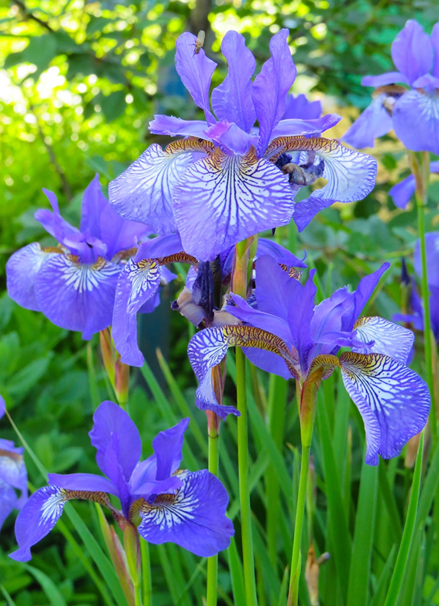 Irises are best divided right after they bloom, but most perennials fall under the general rule of dividing in the season roughly opposite their bloom time.