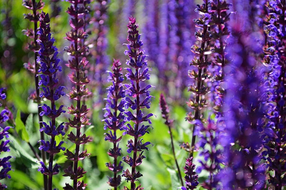 Salvia nemorosa is one perennial that benefits from division every few years, resulting in stronger bloom.