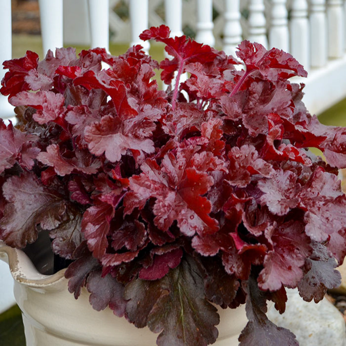 Growing in a container, this Heuchera 'Cherry Truffles' might need some special treatment for the winter. It is hardy to USDA Zone 3 if planted in the ground, but it should be considered hardy only to Zone 5 if it remains in a pot.