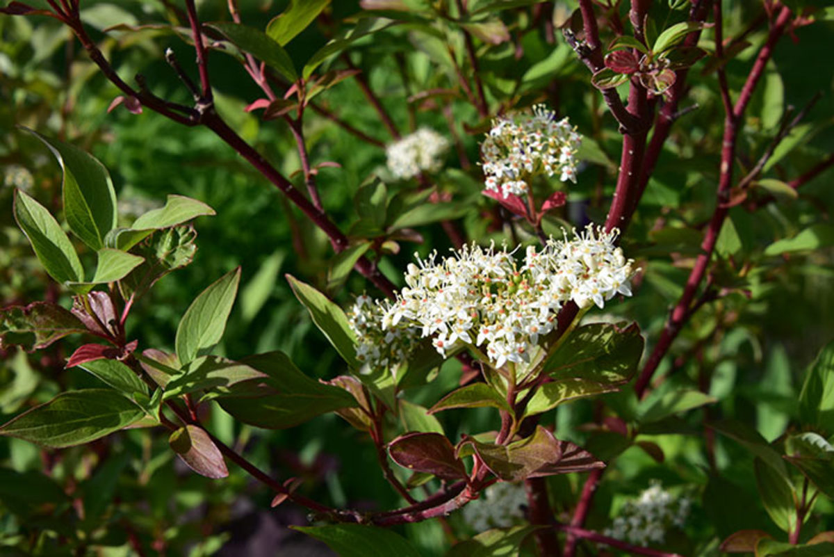 Redosier dogwood is a bone-hardy shrub that provides spring flowers and red stems that add winter interest.